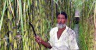 ঝিনাইদহে জনপ্রিয় লাভজনক চাষ এখন গেন্ডারি আখ