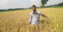 কালীগঞ্জে কারেন্ট পোকার আক্রমনে দিশেহারা ধান চাষীরা