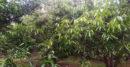 ঝিনাইদহের বিভিন্ন উপজেলায় বাণিজ্যিকভাবে তেজপাতা চাষ