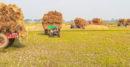 ঝিনাইদহ জেলা জুড়ে ধুমছে চলছে ধান কেটে ঘরে তোলার মহাউৎসব