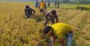 ঝিনাইদহের মহেশপুর কৃষকের জমির ধান কাটলো নেপা ছাত্রদলের নেতাকর্মীরা
