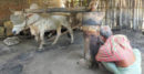 ঝিনাইদহে আজও রয়েছে ঐতিহ্যবাহি ঘানি ভাঙা শিল্প